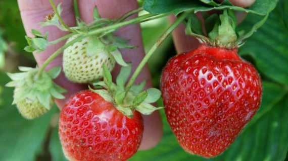 Wisata Petik Strawberry Di Kota Batu